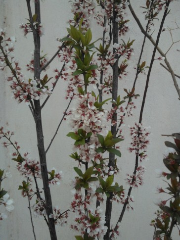 Some flowers in my plum tree